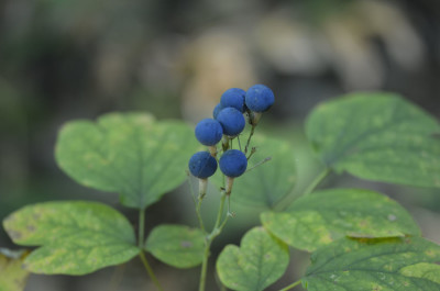 Photo of Blue Cohosh Fruit with Green Leaves on NaturalCrooksDotCom