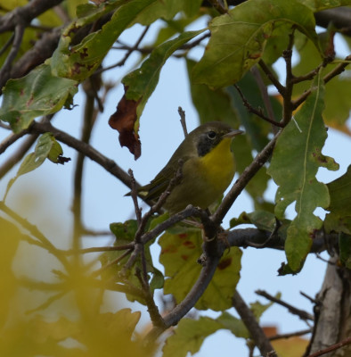 Photo of Common Yellowthroat Young Male on NaturalCrooksDotCom