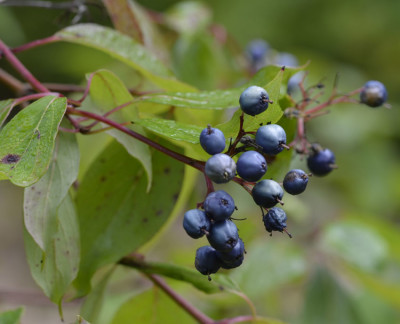 Photo of Dogwood Blue Berries On NaturalCrooksDotCom