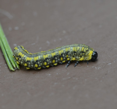 Photo of Green Yellow Caterpillar and Pine Needle on NaturalCrooksDotCom