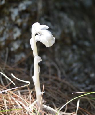 Photo of Indian Pipe Base White Pine on NaturalCrooksDotCom