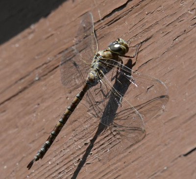 Photo of Large Dragonfly on Batterboard on NaturalCrooksDotCom
