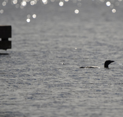 Photo of Loon Emerges Dock on NaturalCrooksDotCom