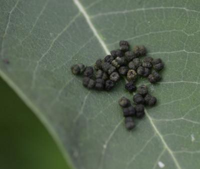 Photo of Milkweed Tussock Moth Caterpillar Frass on NaturalCrooksDotCom