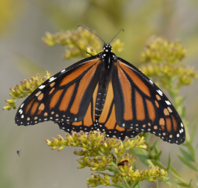Photo of Monarch on Goldenrod on NaturalCrooksDotCom