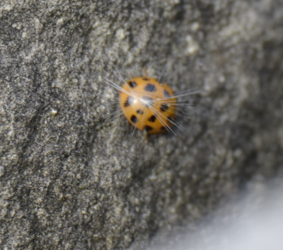 Photo of Multicoloured Asian Ladybeetle Col Sam on NaturalCrooksDotCom