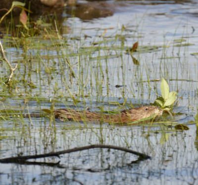 Photo of Muskrat with Bush On NaturalCrooksDotCom