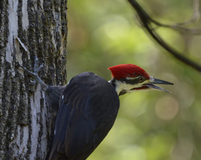 Photo of Pileated Woodpecker Over Right Shoulder Bill Open on NaturalCrooksDotCom