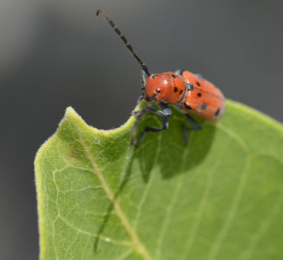 Photo of Red Milkweed Beetle Top Leaf On NaturalCrooksDotCom