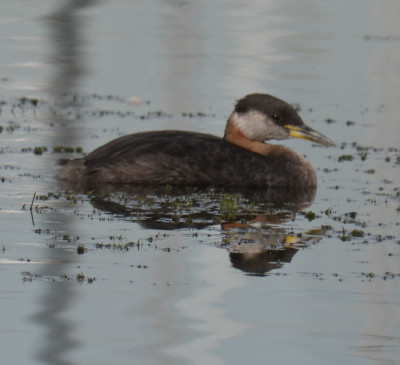 Photo of Red Necked Grebe Col Sam Calm On NaturalCrooksDotCom