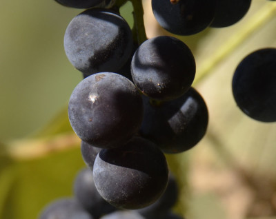 Photo of Riverbank Grapes Ripe On NaturalCrooksDotCom