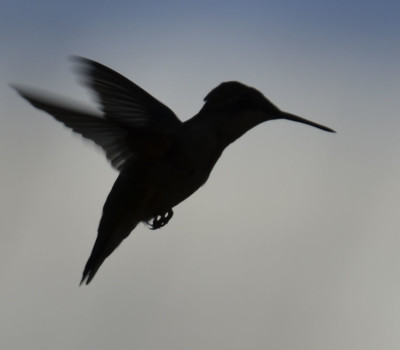 Photo of Ruby Throated Hummingbird Hover Silhouette on NaturalCrooksDotCom