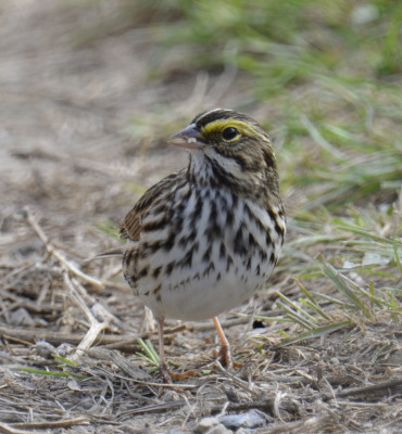 Photo of Savannah Sparrow Col Sam On NaturalCrooksDotCom