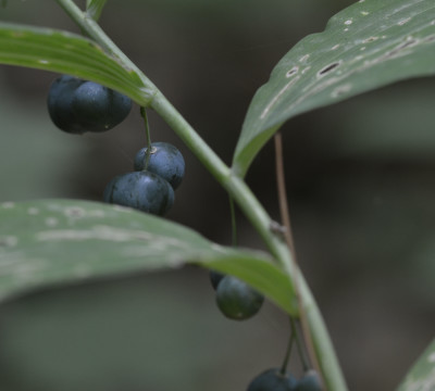 Photo of Solomons Seal Blue Berries Riverwood On NaturalCrooksDotCom