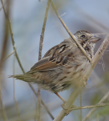 Photo of Sparrow with Very Short Tail On NaturalCrooksDotCom