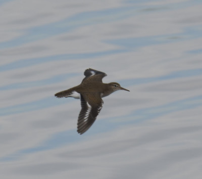 Photo of Spotted Sandpiper in Flight Col Sam on NaturalCrooksDotCom