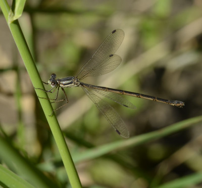 Photo of Spreadwing on NaturalCrooksDotCom