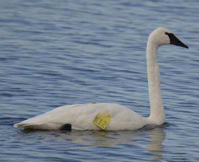 Photo of Trumpeter Swan K12 Col Sam on NaturalCrooksDotCom