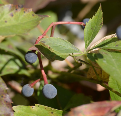 Photo of Virginia Creeper Berries On NaturalCrooksDotCom