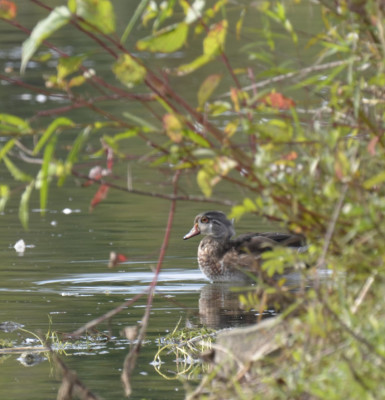 Photo of Wood Duck Shrubbery on NaturalCrooksDotCom
