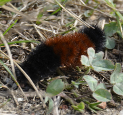 Photo of Wooly Bear Caterpillar Hard Winter on NaturalCrooksDotCom