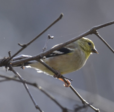Photo of American Goldfinch Ruthven on NaturalCrooksDotCom