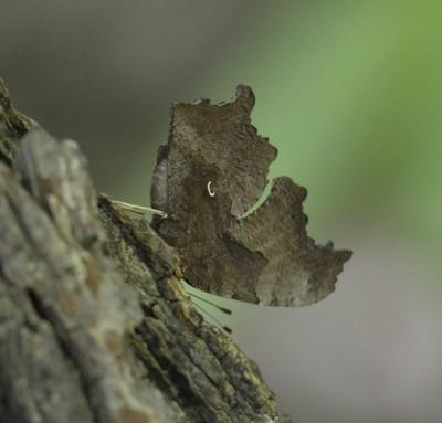 Photo of Comma on Sap Tree Details on NaturalCrooksDotCom