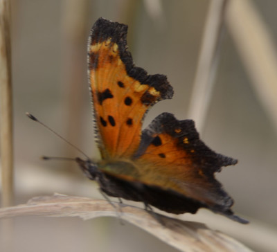 Photo of Comma or Question Mark Ruthven Oct 22 on NaturalCrooksDotCom