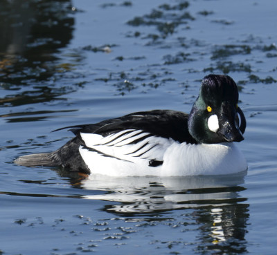 Photo of Common Goldeneye  Male Unwin On NaturalCrooksDotCom