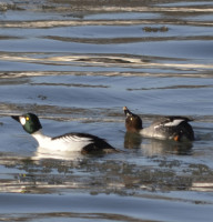 Photo of Common Goldeneye Pair Courting Gairloch on NaturalCrooksDotCom
