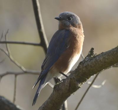 Photo of Eastern Bluebird Over Shoulder Ruthven Lighter on NaturalCrooksDotCom