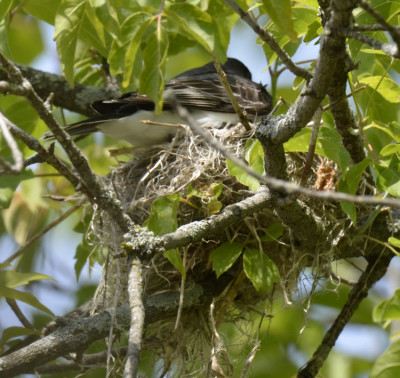Photo of Eastern Kingbird Landing On Nest on NaturalCrooksDotCom