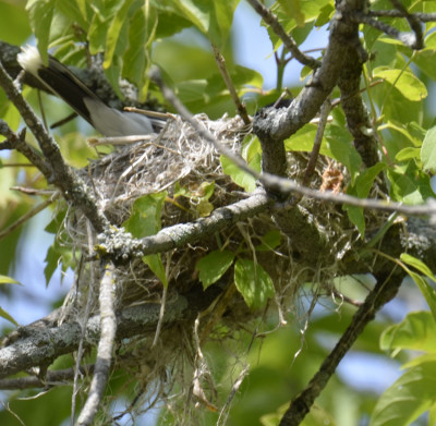 Photo of Eastern Kingbird Settled On Nest On NaturalCrooksDotCom