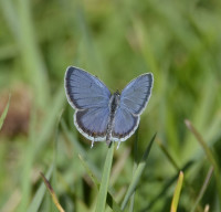 Photo of Eastern Tailed Blue on Grass Sept on NaturalCrooksDotCom