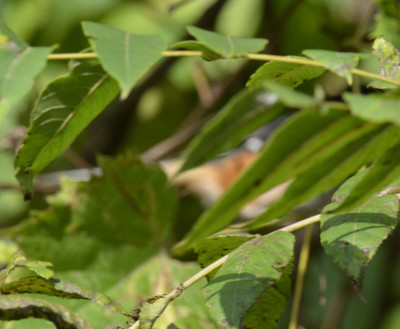 Photo of Eastern Towhee As I Usually See One on NaturalCrooksDotCom
