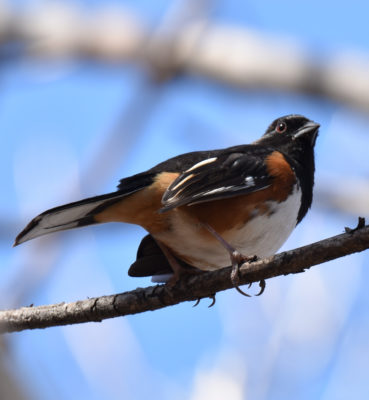 Photo of Eastern Towhee Male Lakeside April on naturalcrooksdotcom