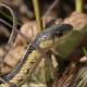 Photo of Garter Snake Ruthven Oct 22 on NaturalCrooksDotCom