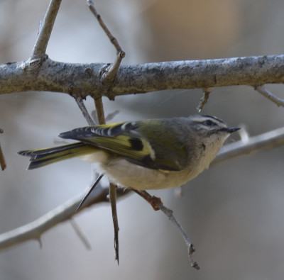 Photo of Golden Crowned Kinglet Looking Up for Food Ruthven on NaturalCrooksDotCom