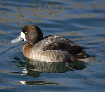 Photo of Greater Scaup Female Unwin On NaturalCrooksDotCom