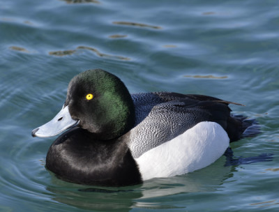 Photo of Greater Scaup Male Unwin On NaturalCrooksDotCom