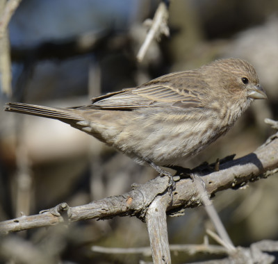 Photo of House Finch Female Branch on NaturalCrooksDotCom