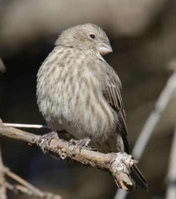 Photo of House Finch Female Sneer on NaturalCrooksDotCom