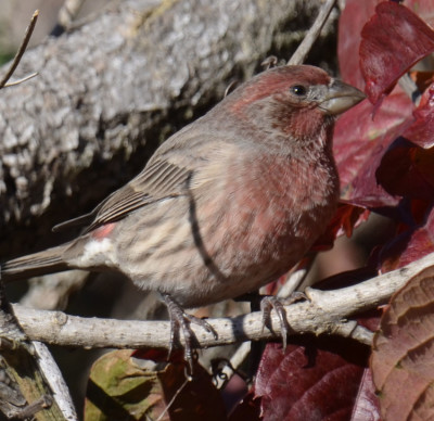 Photo of House Finch Male Red Leaves on NaturalCrooksDotCom