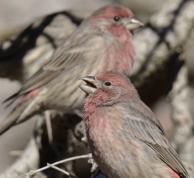 Photo of House Finch Male Singing on NaturalCrooksDotCom