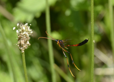 Photo of Ichneumon Wasp Therion Female on NaturalCrooksDotCom