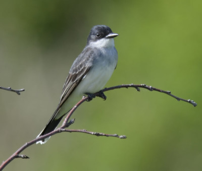 Photo of Kingbird Bare Branch Bronte on NaturalCrooksDotCom
