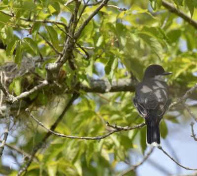 Photo of Kingbird Watching Nest on NaturalCrooksDotCom