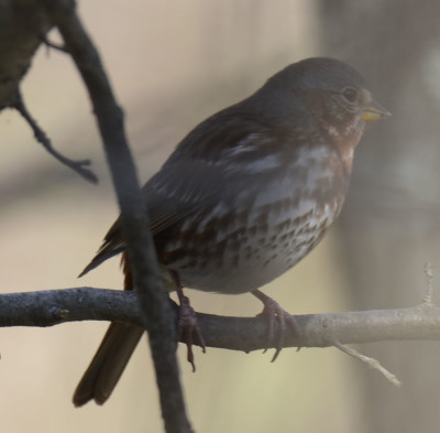 Photo of Possible Fox Sparrow Ruthven on NaturalCrooksDotCom