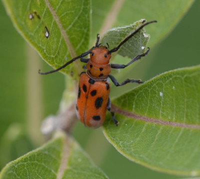 Photo of Red Milkweed Beetle Sheridan Meadow on NaturalCrooksDotCom