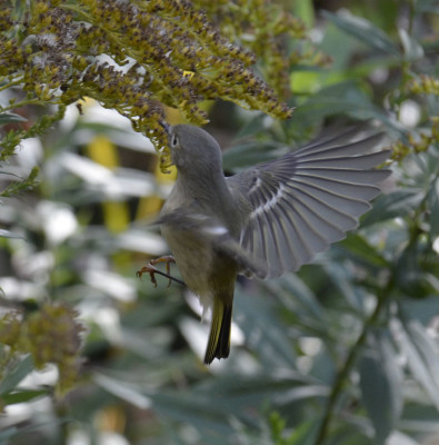 Photo of Ruby Crowned Kinglet Hover Beside Goldenrod on NaturalCrooksDotCom